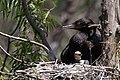 Neotropic Cormorant (adult & immature) Smith Oaks High Island TX 2018-04-17 12-40-21 (27078933757).jpg