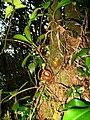 Nepenthes flava10.jpg