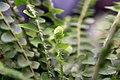 Nephrolepis cordifolia 0zz.jpg