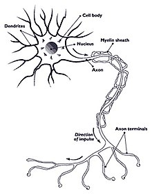Myelination surrounding the axon