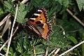 Neslesommerfugl (Nymphalis urticae) (5675904791).jpg
