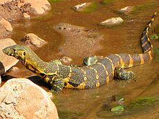Nile Monitor, Lake Manyara.jpg