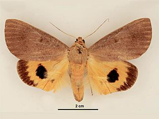 <i>Dermaleipa metaxantha</i> species of insect