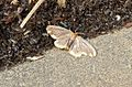 Noctuidae,lymantriinae,Nygmiini..Possibly Orvasca subnotata. see notes - Flickr - gailhampshire.jpg