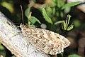 Noordwijk - Heivlinder (Hipparchia semele).jpg