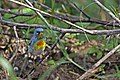 Northern Parula (Setophaga americana) (8591587579).jpg