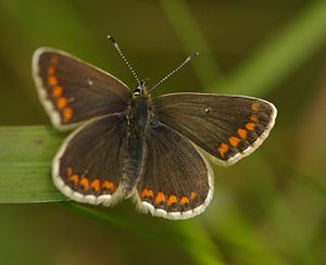 Northern brown argus 1.JPG