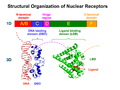 Nuclear Receptor Structure.png