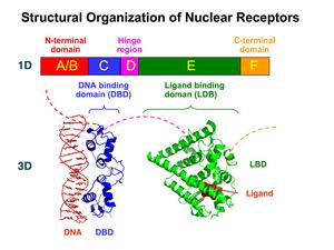 steroid receptors nuclear receptors
