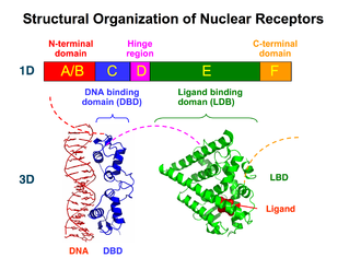 Nuclear receptor - Structural Organization of Nuclear Receptors Top – Schematic 1D amino acid sequence of a nuclear receptor. Bottom – 3D structures of the DBD (bound to DNA) and LBD (bound to hormone) regions of the nuclear receptor.   The structures shown are of the estrogen receptor.  Experimental structures of N-terminal domain (A/B), hinge region (D), and C-terminal domain (F) have not been determined therefore are represented by red, purple, and orange dashed lines, respectively.