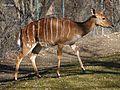 Nyala Tragelaphus angasii Tierpark Hellabrunn-26.jpg