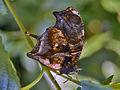 Nymphalidae - Consul fabius.jpg