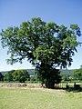 Oak Tree - geograph.org.uk - 202779.jpg