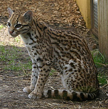 What Will I Look Like When I Grow Up >> Wikijunior:Big Cats/Ocelot - Wikibooks, open books for an open world