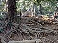 Ocotpus tree - panoramio.jpg