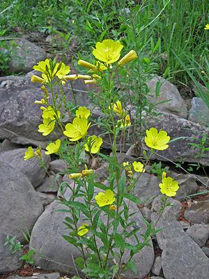 Oenothera fruticosa - Image: Oenothera fruticosa Cumberland Plateau