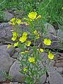 Oenothera fruticosa Cumberland Plateau.jpg