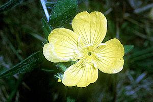 Oenothera pilosella - Image: Oenothera pilosella NRCS 01
