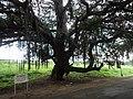 Old, Big tree.JPG