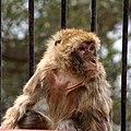Old ape - Flickr - Stiller Beobachter.jpg