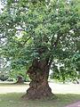 Old tree, Petworth House.jpg