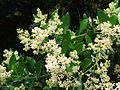 Olea capensis Ironwood tree flowers.JPG