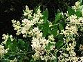 Olea capensis Ironwood tree flowers.JPG