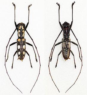 <i>Olenecamptus</i> genus of insects