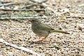 Olive Sparrow-Santa Ana NWR-TX - 2015-05-12at16-03-461 (21617650921).jpg