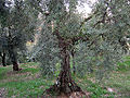 Olivo trano.jpg
