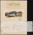 Ophiocephalus punctatus - 1700-1880 - Print - Iconographia Zoologica - Special Collections University of Amsterdam - UBA01 IZ13800073.tif