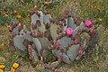 Opuntia basilaris 7952.JPG
