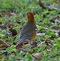 Orange-headed Thrush (Zoothera citrina) in Kolkata I IMG 3214.jpg