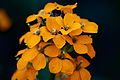 Orange-spring-wildflowers - West Virginia - ForestWander.jpg