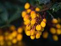Orange buds (13199720873).jpg