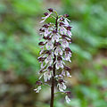 Orchis.purpurea.8276.jpg