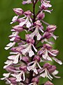 Orchis x hybrida LC0354.jpg