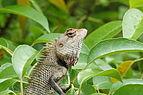 Oriental garden lizard 07372.JPG