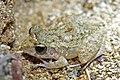 Oriente Stream Frog (Eleutherodactylus cuneatus) (8571333557).jpg