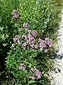 Origanum vulgare subsp. vulgare sl1.jpg