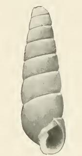 <i>Orinella africana</i> species of mollusc
