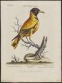 Oriolus melanocephalus - 1700-1880 - Print - Iconographia Zoologica - Special Collections University of Amsterdam - UBA01 IZ16400201.tif
