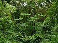 Oroxylum indicum (2768009112).jpg