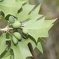 Osmanthus heterophyllus (fruits).jpg