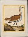 Otis tarda - 1700-1880 - Print - Iconographia Zoologica - Special Collections University of Amsterdam - UBA01 IZ17200003.tif
