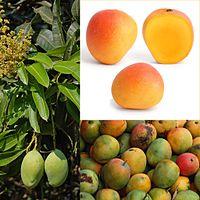 Манго это овощ или фрукт