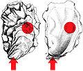 Oyster anatomy .jpg