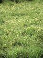 P20130507-0012—Cerastium viride—Point Reyes (8740933499).jpg