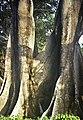 PICT0601 Arbre xxxx Senegal.jpg