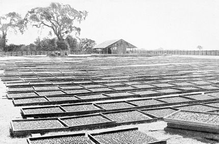 PSM V44 D214 Drying the apricots.jpg